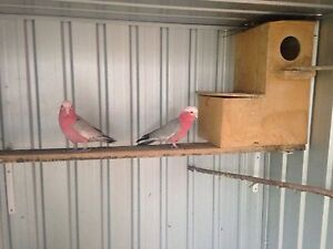 GALAH PAIR!! Need gone ASAP! Coolaroo Hume Area Preview