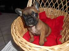 French Bulldog Purebred Puppies on Main Papers Lidcombe Auburn Area Preview
