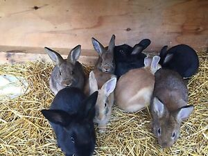 BUNNIES FREE TO GOOD HOMES