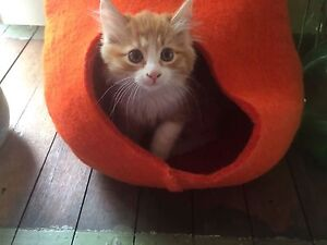 Fluffy ginger and white female rescue kitten vet work done Ivanhoe Banyule Area Preview