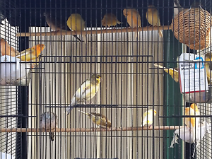 Canaries for Sale Liverpool Liverpool Area Preview