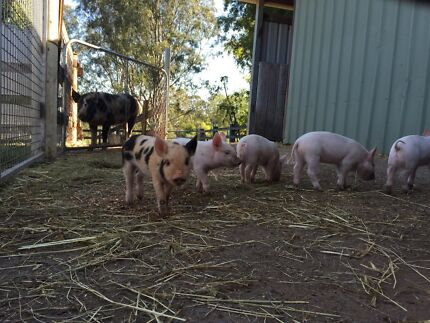 Piglets for sale Chambers Flat Logan Area Preview