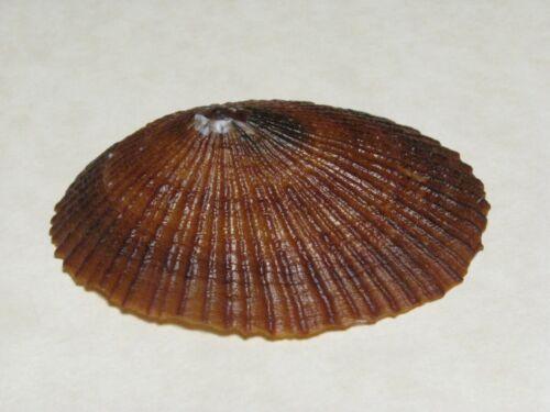"Cellana talcosa (Gould, 1846) ""ENDEMIC HAWAIIAN LIMPET""  (53.2mm)"