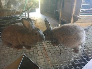 Meat/Pet Rabbits For Sale