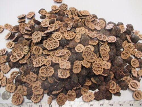 500 + Large Black Walnut Shells End Cuts (Heels)