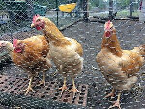 Buff Orpington roosters