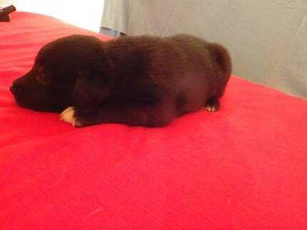 Puppies Labrador x Border Collie Garbutt Townsville City Preview