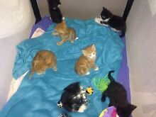 Cute kittens for sale Bolwarra Heights Maitland Area Preview