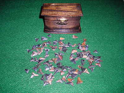 A Pirate'sTreasure Chest Full of Prehistoric Shark Teeth