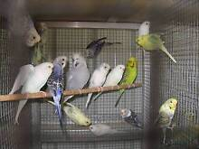 Quality Young Budgies (20 for $200) Variety of colours Tamborine Ipswich South Preview