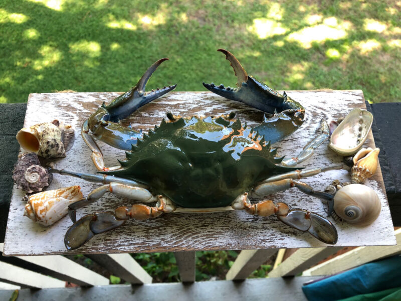 Blue Crab Taxidermy Wood Mount