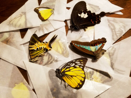REAL Lot of 10 MALAYSIAN FOREST BUTTERFLIES Ships from USA! Colorful! Art!