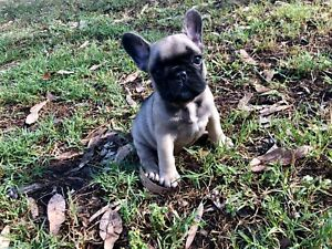 Purebred French Bulldog puppies - ready to go from the 28th January
