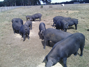 Large black pigs for sale Black Springs Oberon Area Preview