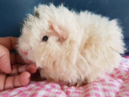 Baby TEXEL male guinea pigs