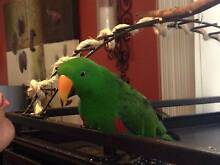 Lost Green Parrot (Male Eclectus) Fairfield Heights Fairfield Area Preview