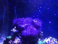 Lps and soft corals for sale
