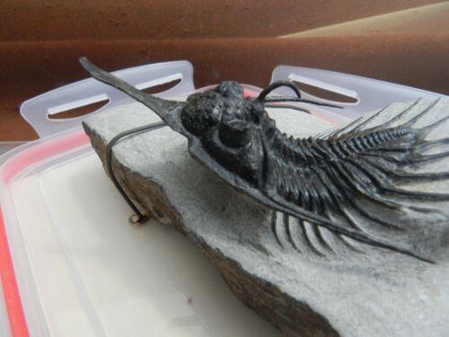 Psychopyge elegans ,sp semi-flying Trilobite Morocco