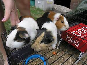 3 CUTE Guines Pigs - Boys Beecroft Hornsby Area Preview