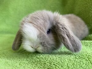 ❤️🐰QUALITY MINI LOP BLUE EYES💙vaccinated 10 years breeder