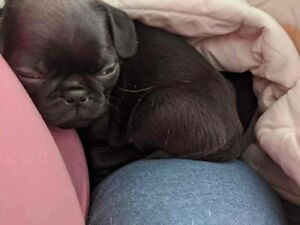 Pug Breeders Adopt Dogs Puppies Locally In Ontario Kijiji