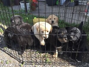 Black lab mix with golden retrievers puppies