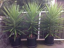 YUCCA PLANTS ****VERY HEALTHY**** Various sizes Hurstville Hurstville Area Preview