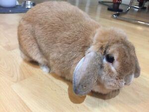 Beautiful mini lip Bunny with amazing cage!