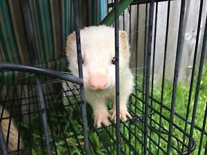 Ferrets x2 Pennant Hills Hornsby Area Preview