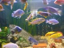 African Cichlids for Sale Homebush Strathfield Area Preview
