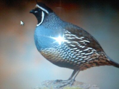 24California Valley Quail Eggs for Hatching memorial day special only
