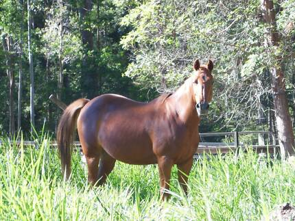 """Sundance"" - Chestnut registered stockhorse mare, 14yr old, 15hh Cootharaba Noosa Area Preview"