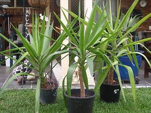 YUCCAS APPROX 1 METRE HIGH Casula Liverpool Area Preview