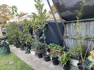 Fruit trees 15 variety's & sizes fruiting 🥭🍋🍊🥑🍑🍒🍓