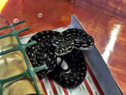 Diamond Python Hatchlings Buderim Maroochydore Area Preview
