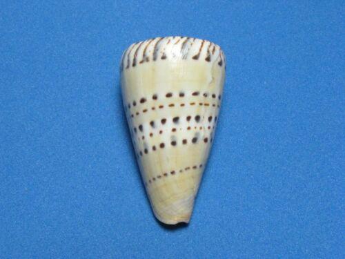"""Conus mustelinus (Hwass in Bruguière, 1792) """"NICE SPOTS!"""" (43.9mm)"""