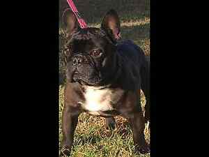 Registered French Bulldog Male Christmas Hills Nillumbik Area Preview