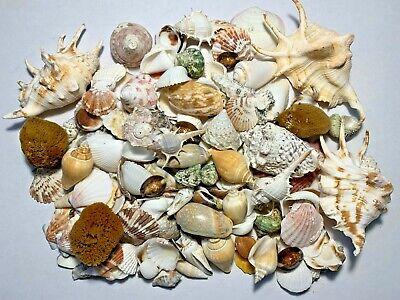 3 lbs. Large Indo Seashells Sea Shells Best Price FREE Ship!
