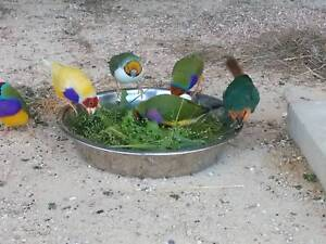 Gouldian finches One Tree Hill Playford Area Preview