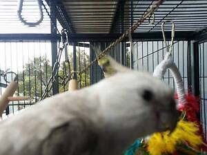 Three cockatiels + Meduim sized caged + Small gym Wulguru Townsville City Preview