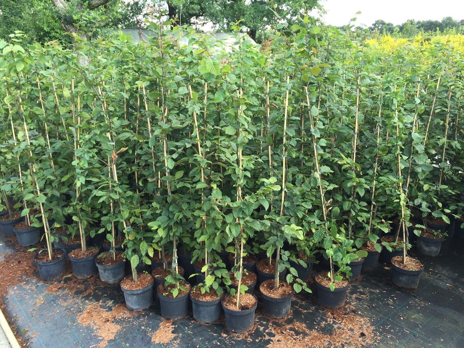 Hainbuche Buchen Hecke Heckenpflanze topfgewachsen ca 100 120