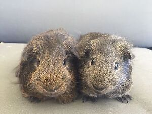 2 Abyssinian Male Guinea Pigs including cage and extras Mundijong Serpentine Area Preview