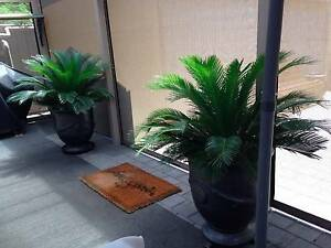 STATEMENT ENTRY,  PAIR OF CYCADS IN LARGE CHARCOAL FRENCH POTS Warradale Marion Area Preview