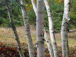 Love Birch