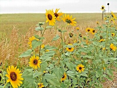 100+WILD(Common)SUNFLOWER Seeds American Native Wildflower Kansas State Flower