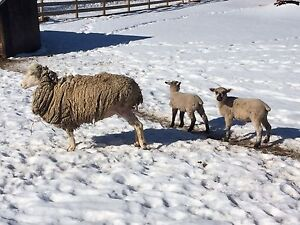 EWE WITH TWIN LAMBS- 4-h project maybe