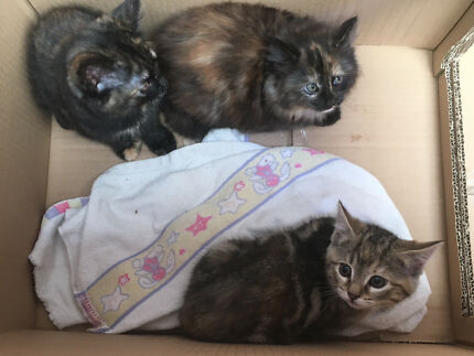 3x kittens
