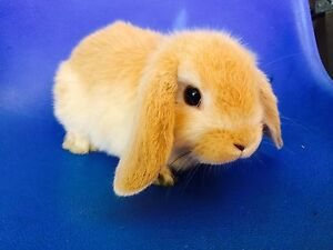 Mini lop baby girl rabbit Willetton Canning Area Preview