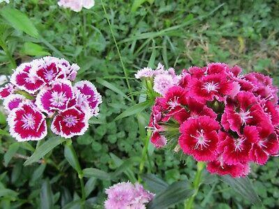 1 Plant Dianthus Barbatus Carnation Sweet William Heirloom Mix Flower