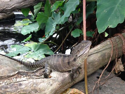 Male Eastern Water Dragon Large Male Eastern Water
